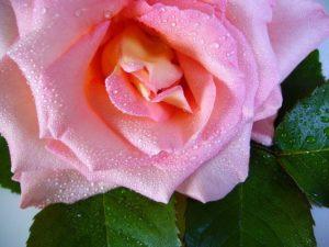 rosenmilch
